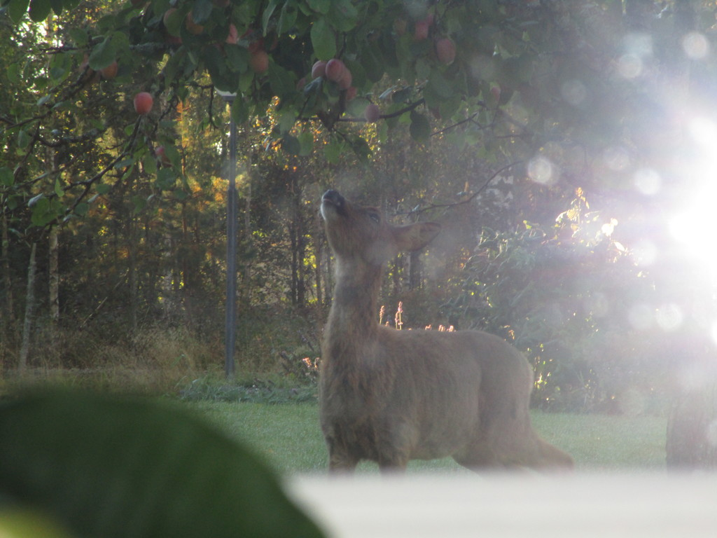 Deers are often seen in our garden