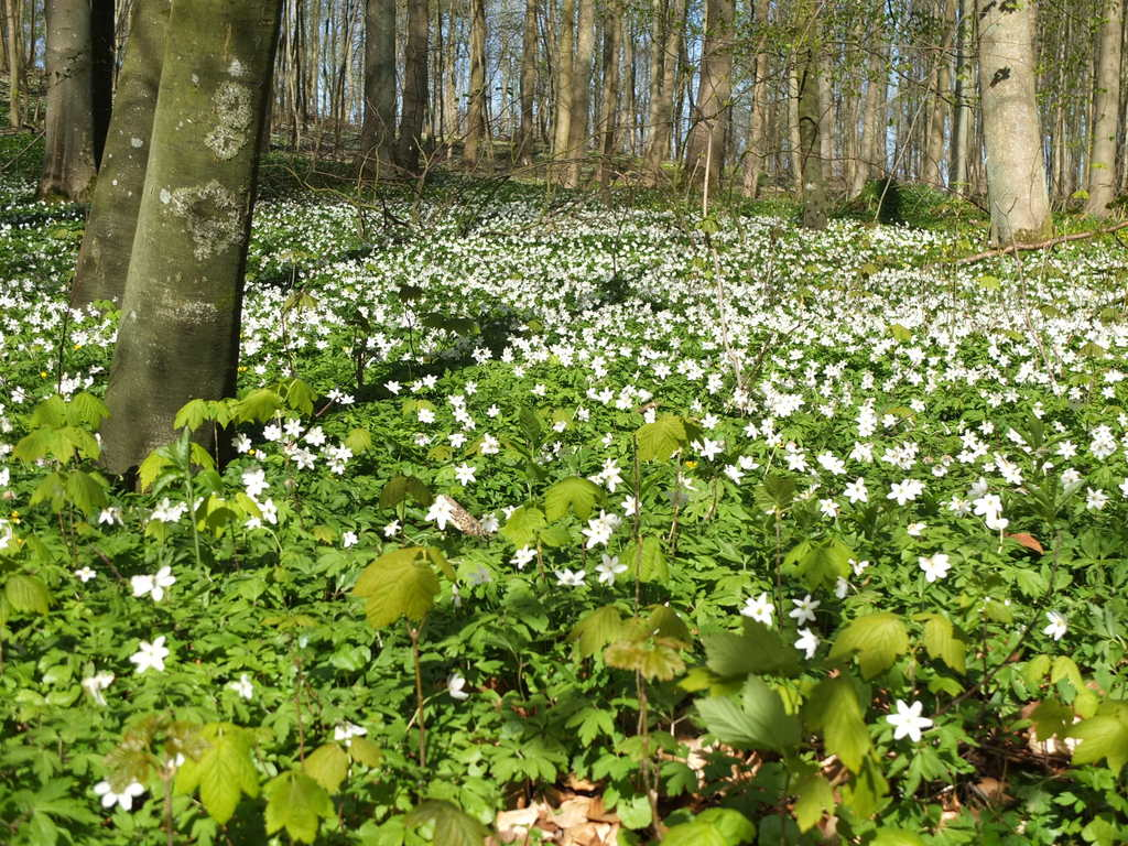Beeches and wood anemones. So typical!