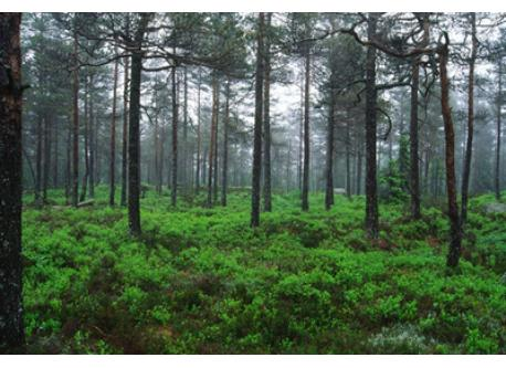 Due to Swedish law, anyone are free to hike almost everywhere in the forest.