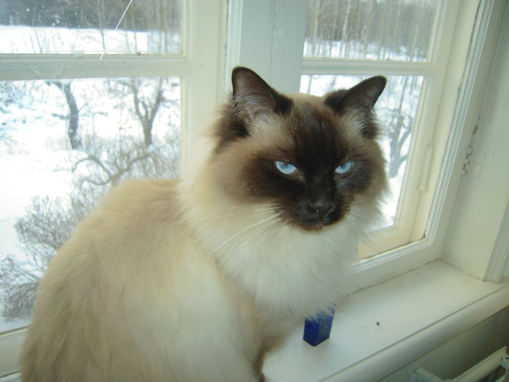 Our ragdoll Moody in the upstair window in our summer house