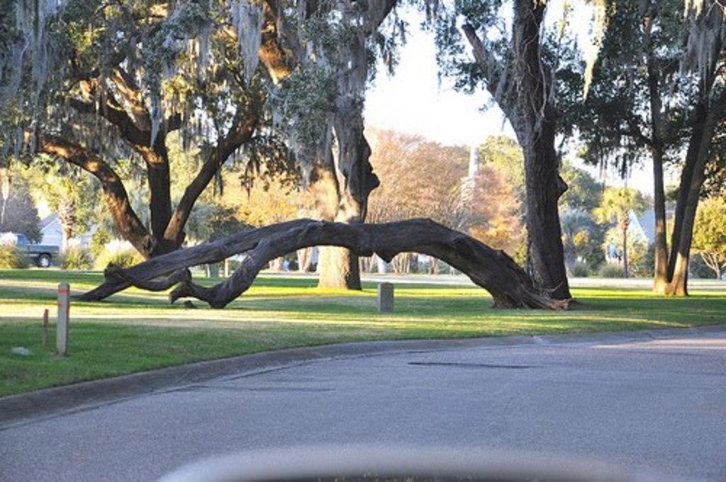 LBTS signature oak trees