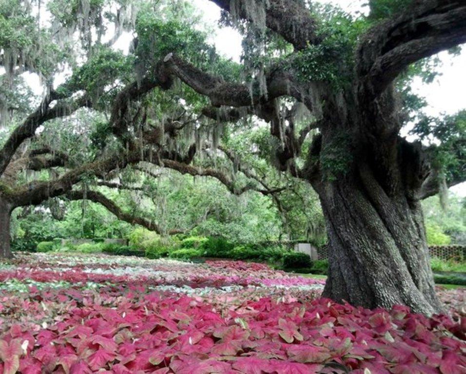 Brookgreen Garden oaks
