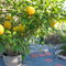 My very productive lemon tree.