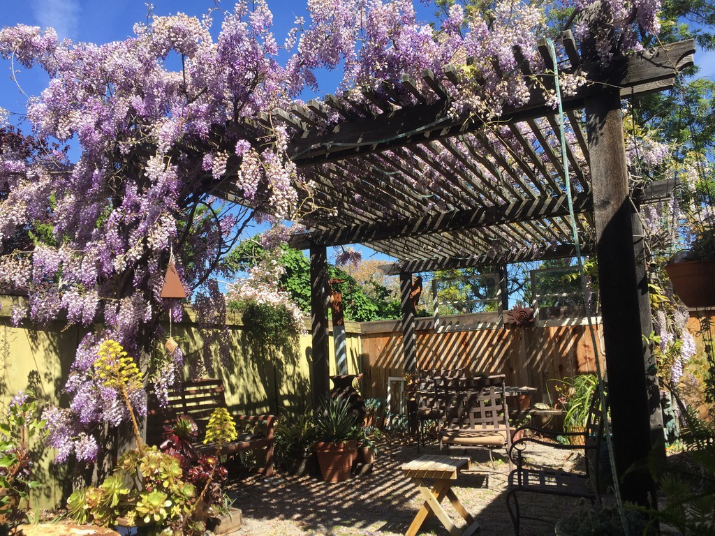 My back patio with Wysteria in bloom