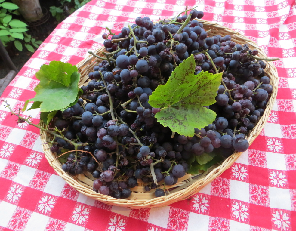 Grapes from the garden