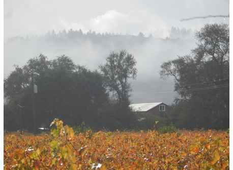 Classic Sonoma county winter morning view with vineyards, redwoods, large oaks and rolling hills