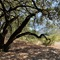 """""""The Languid Oak."""" There are five varieties of native oaks on the property."""