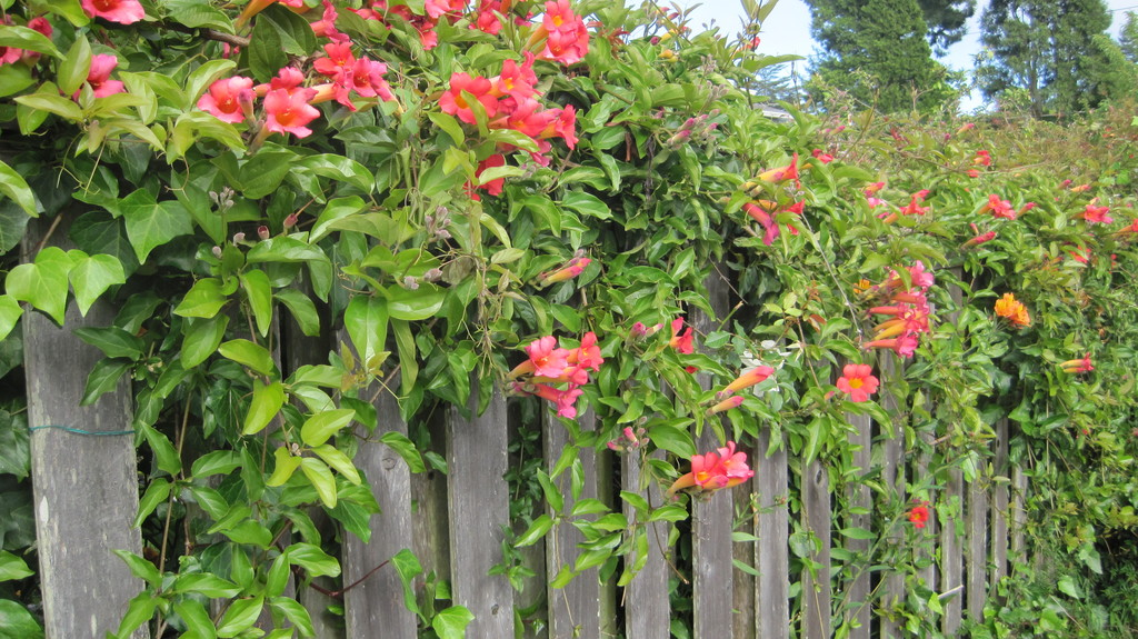 Flowering vines on the front fences creates privacy from the street.