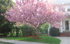 Cherry tree in front yard