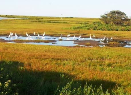 Egrets gather on the Great Sippewissett Marsh just off the bike path