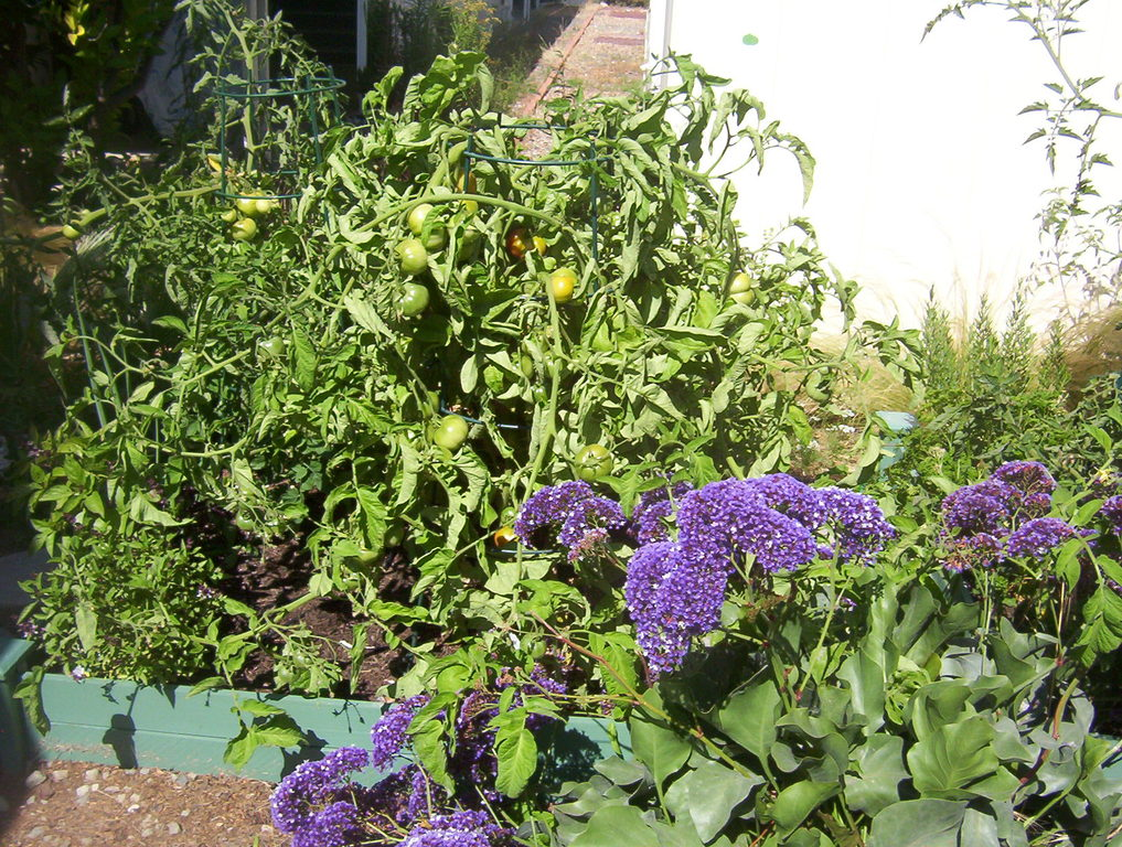 Tomatoes, herbs, flowers