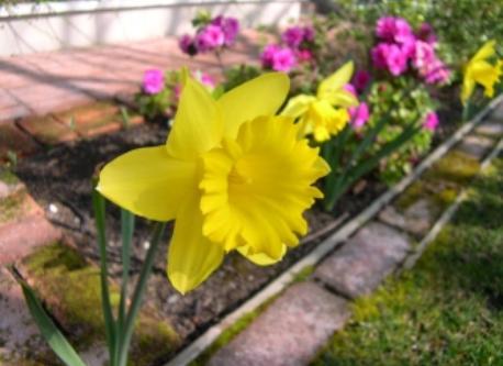 California Daffodil