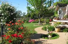 Roses in the Garden.