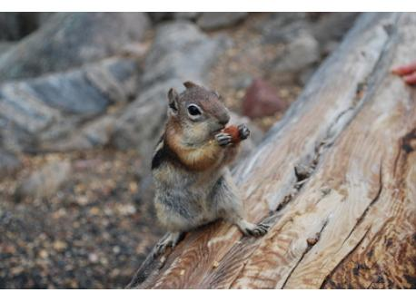 Friendly chipmunk at Rocky Mountain National Park