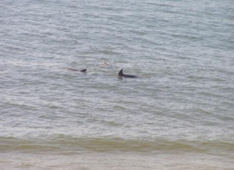 Dolphins at play from the Patio