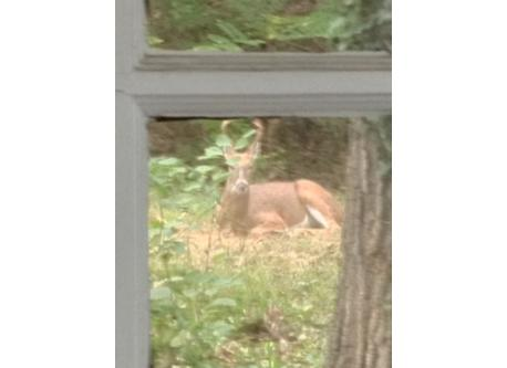 deer by house 12 miles from NYC!