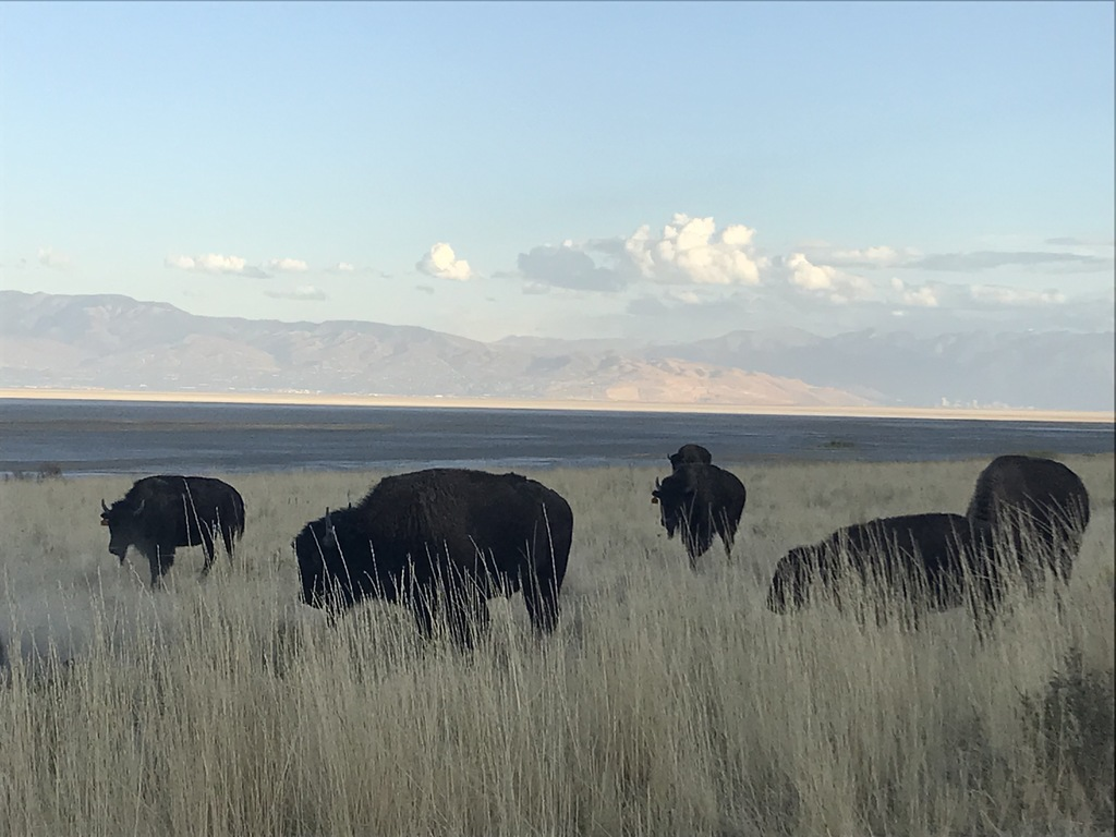 Bison (Buffalo) on Antelope Island. Salt Lake City in the distance across the Great Salt Lake