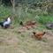 Unsere bunte Hühnertruppe.