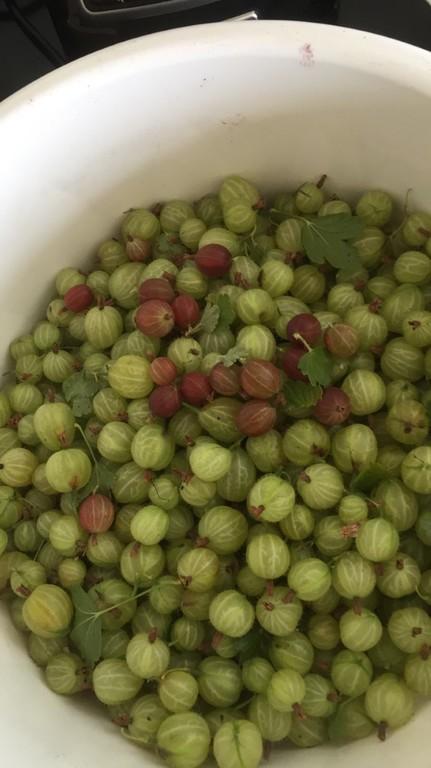 Gooseberrys in the garden