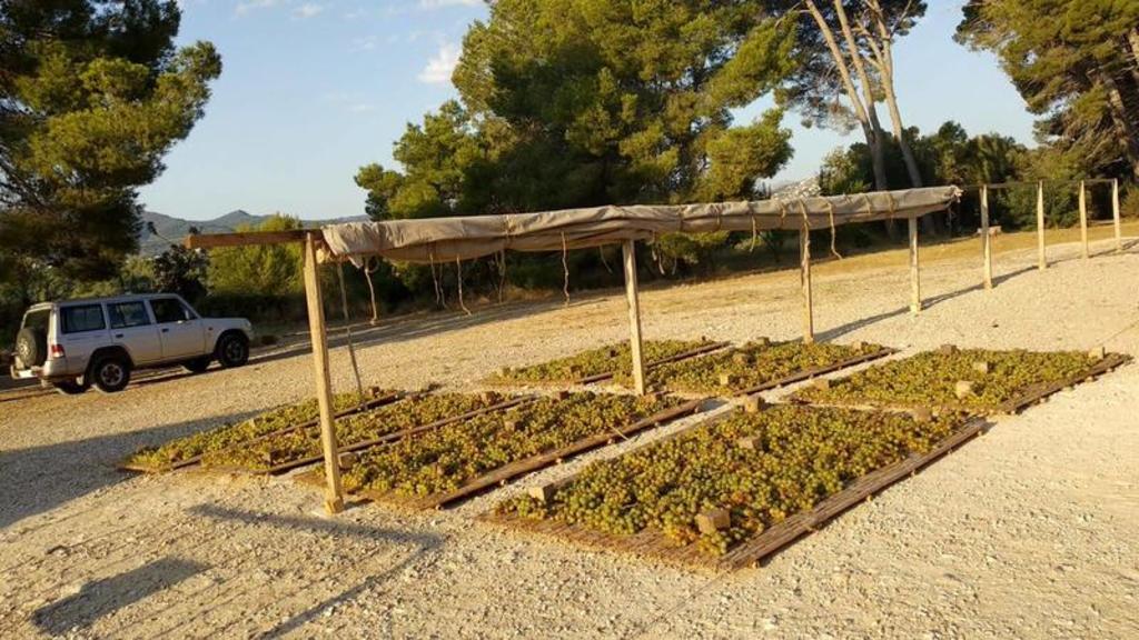 """La uva secándose al sol para la elaboración de """"La Pansa""""."""