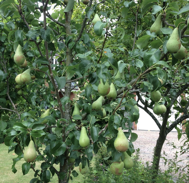 Pear tree in our front garden