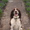 Albie our energetic spaniel