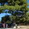 yard with big pine tree