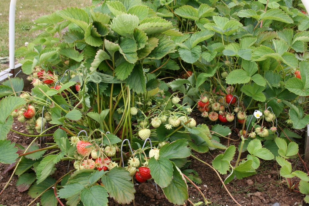 We grow strawberries