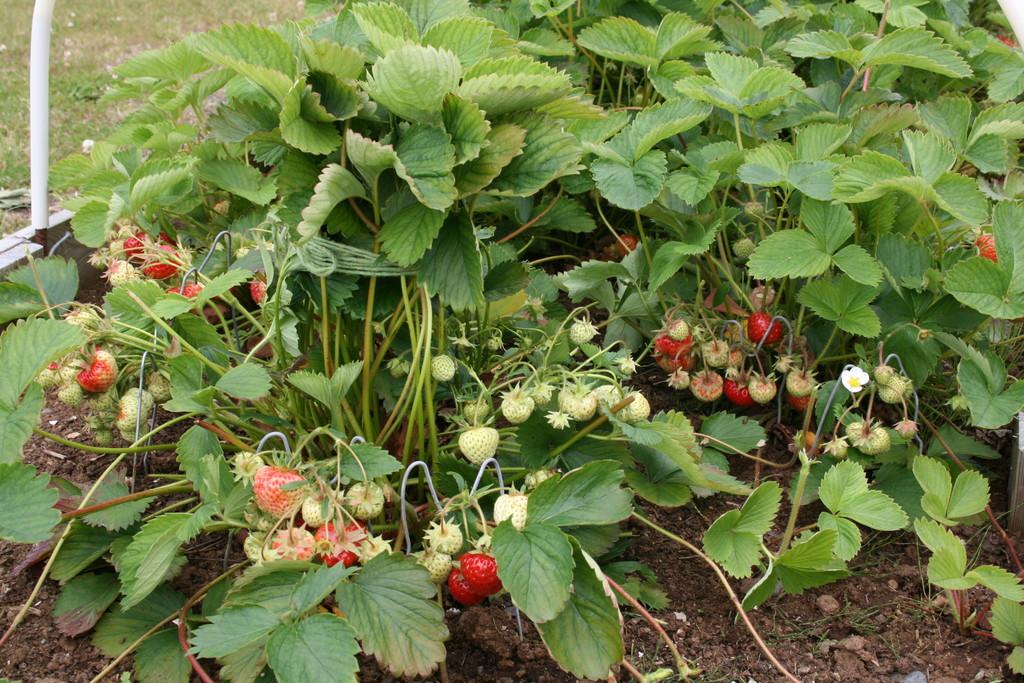 We grow strawberries