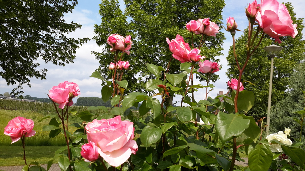 veel mooie bloemen in de zomer in de tuin