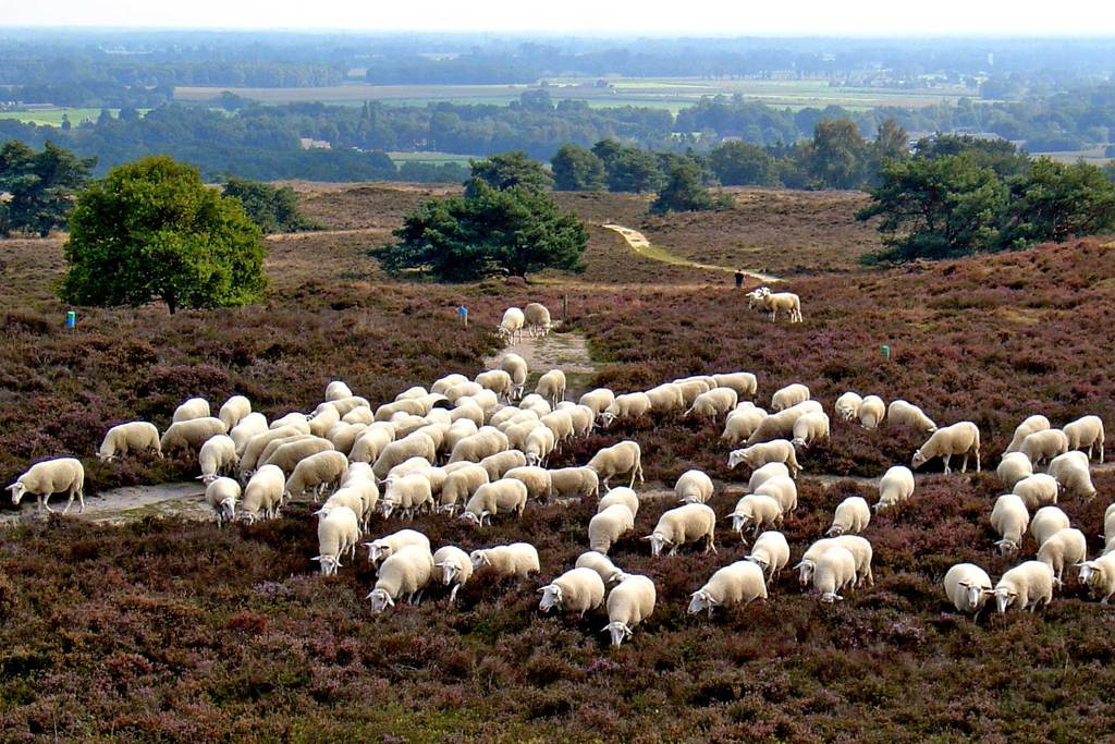 Sheep on Ermelo Heath