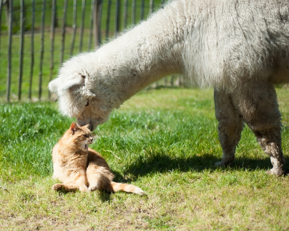 Alpaca and cat like each other