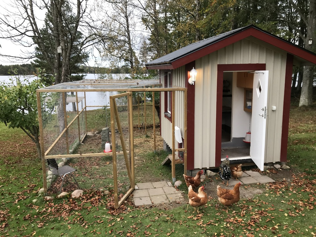 The cock and his hens. They stray the garden all day or can be kept in the cage. Friendly and used to children.