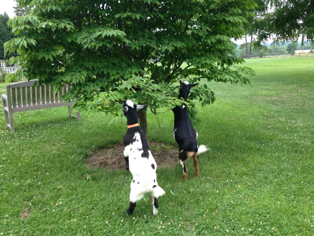 Two of our baby goats nibbling on a dogwood!